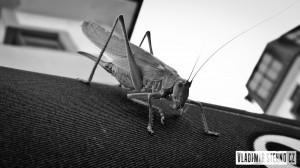 kobylka
